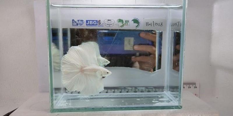 Kontes Ikan Cupang Virtual Siasat Di Tengah Pandemi