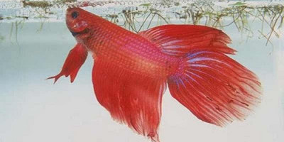 Bisnis Ikan Hias di Tengah Pandemi, Kenapa Tidak?