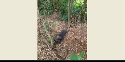 Mendaki Gunung Cikuray, Awas Dibegal Babi Ganas