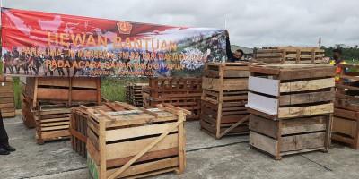 Panglima TNI Bantu 59 Ekor Babi Hutan untuk Upacara Bakar Batu di Papua