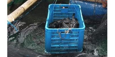 Panen Ikan Kerapu di Pulau Seribu
