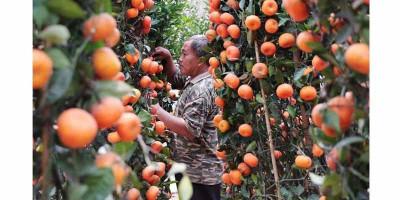 Banjiri Pasar dan Rugikan Petani, Pemerintah Harus Hentikan Impor Jeruk