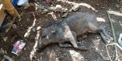 Babi Ngepet di Depok Diincar Warga Sejak Lama, Warga yang Menangkap Harus Telanjang
